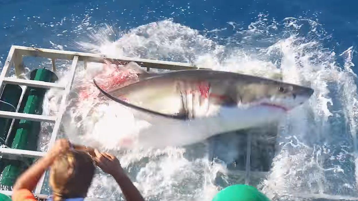 Afbeelding van Web Draait Door: Haai breekt door in duikerskooi