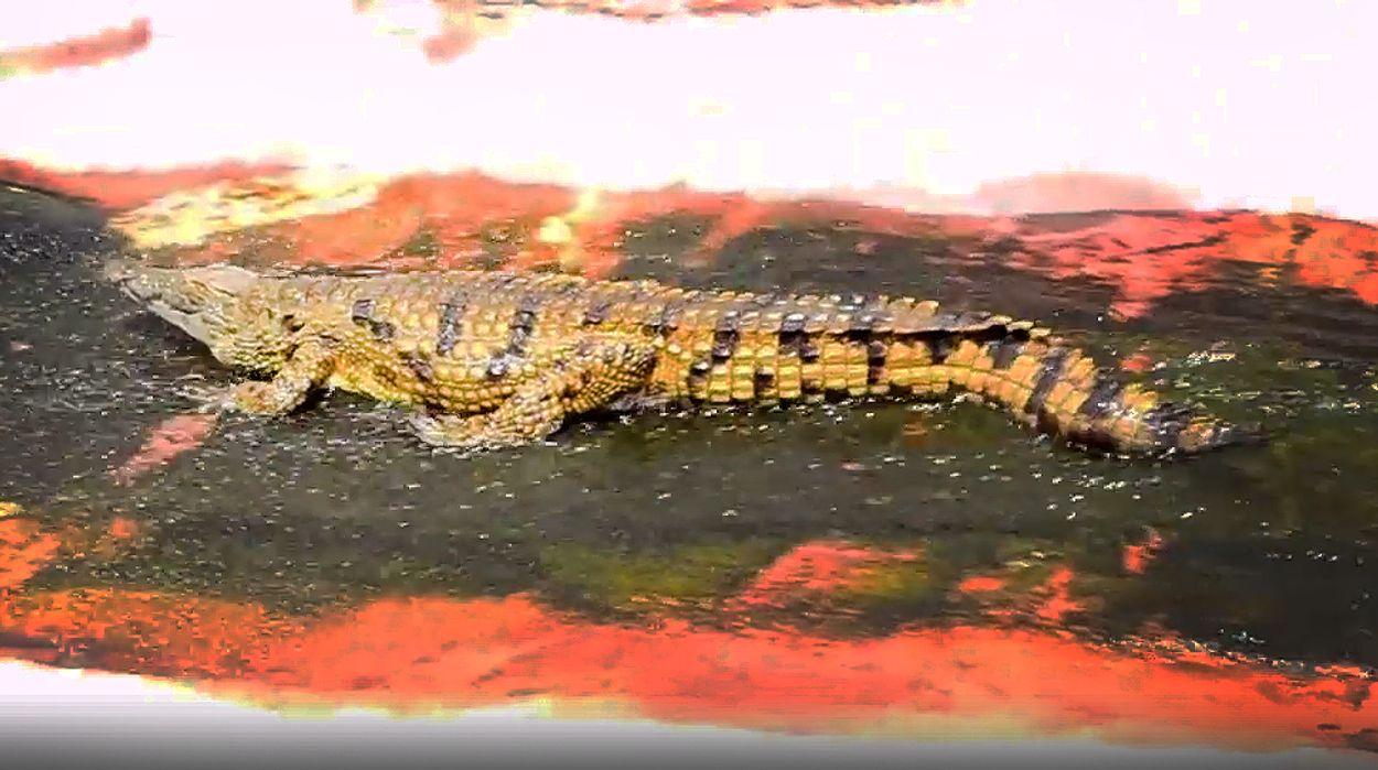 Afbeelding van Web Draait Door: pretpark voor krokodil