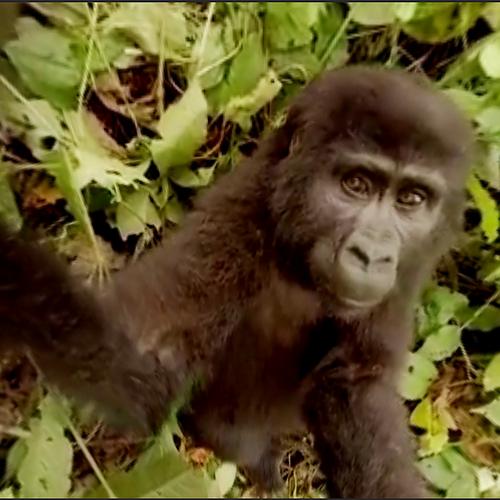 Afbeelding van Web Draait Door: aap maakt selfie
