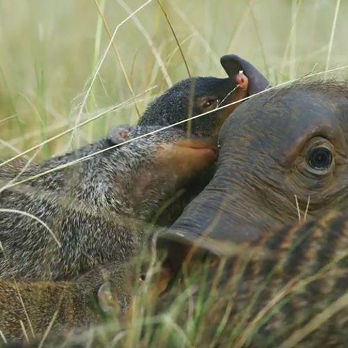 Afbeelding van Web Draait Door: Wellness voor wrattenzwijn